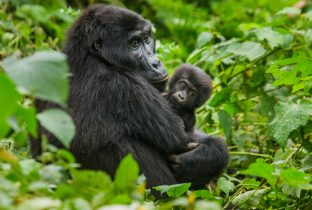 Uganda Gorilla Safari Wildlife Safari Africa African Travel Specialists