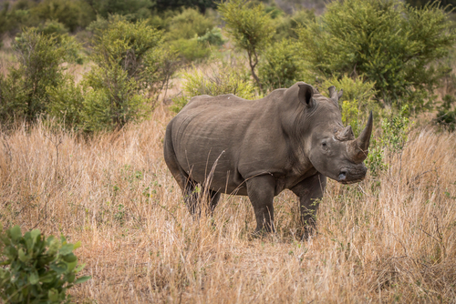 Kruger National Park Rhino Africa South Africa African Travel Specialists