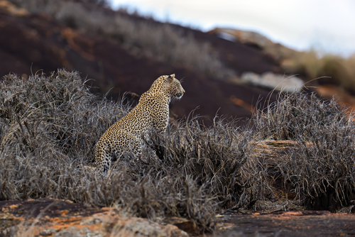 Kenya  Fly In Safari Leopard Tsavo West National Park Kenya African Travel Specialists Africa