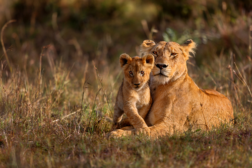 Classic Kenya Safari Lioness and Cub Kenya Africa African Travel Specialists