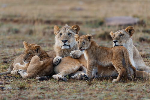 Masai Lion Pride Masai Mara Kenya Fly-In Safaris Kenya Africa African Travel Specialists