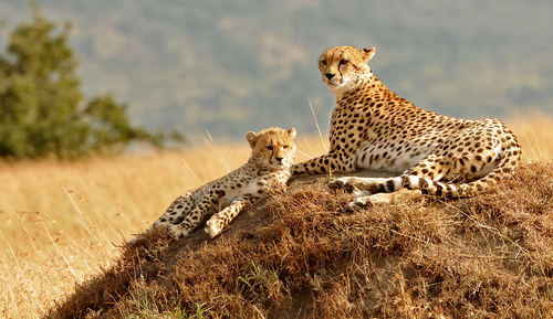 Masai Cheetah Masai Mara Kenya Fly-In Safaris Kenya Africa African Travel Specialists