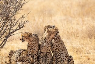 Cheetah RR Africa African Travel Specialists