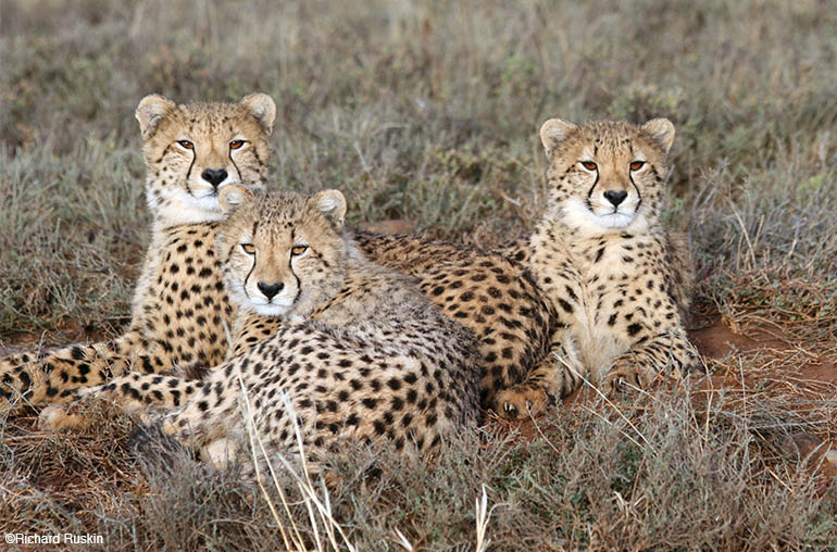 cheetah African Safari Africa African Travel Specialists