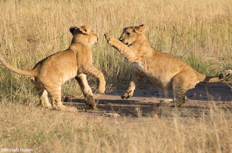 lion cubs africa african travel specialists