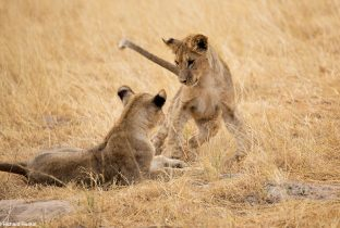 Lion cubs Serengeti National Park Tanzania African Travel Specialists
