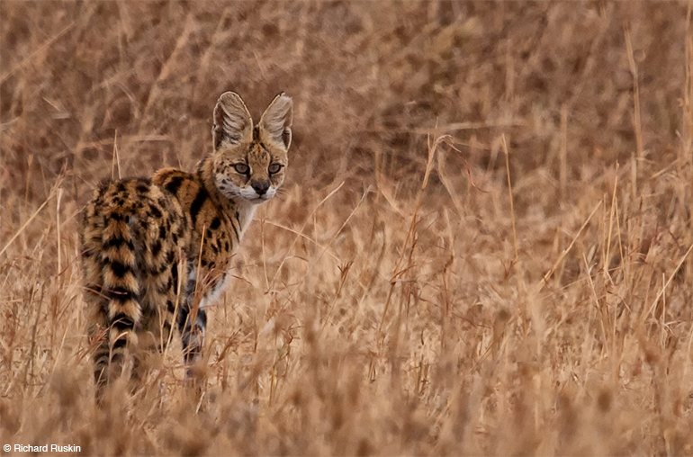 serval Serengeti National Park Tanzania African Travel Specialists