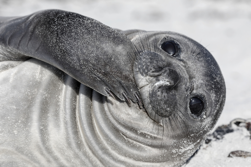 Southern Elephant Seal Pup Antarctic Wildlife Antarctic Cruise Antarctica Antarctic Travel Specialists