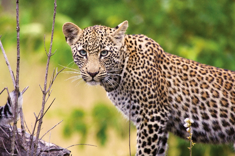 Richard Ruskin Leopard Kruger & Botswana Safari Wildlife African Safari Africa Travel Specialists.