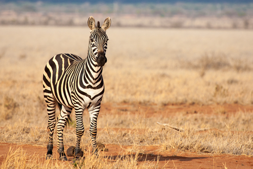 Zebra Luxury Tented Safari Tsavo West National Park Kenya Africa African Travel Specialists