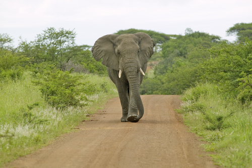 South Africa Adventure Zululand Wildlife Elephant African Travel Specialists Africa