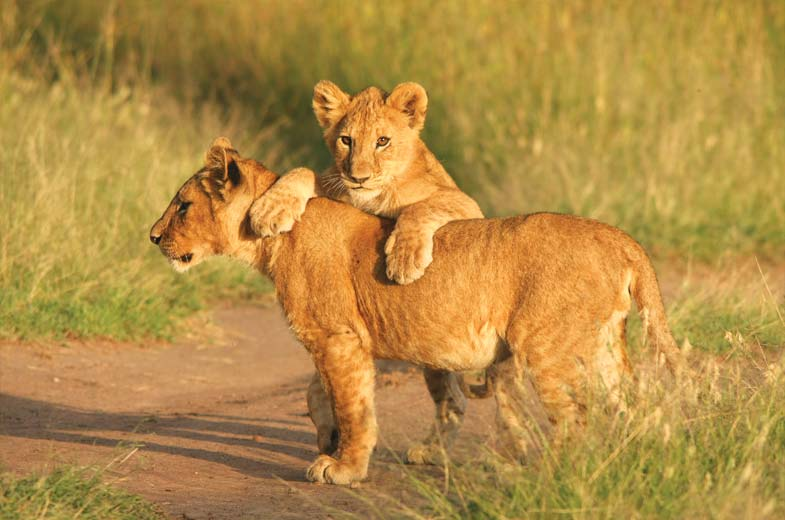 Madikwe Hills Madikwe Wildlife Lions South Africa Africa African Travel Specialists