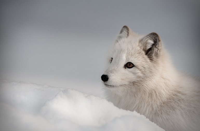 Arctic Fox Arctic Early Bird Antarctic Travel Specialists