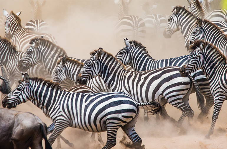 Zebras Migration August African Travel Specialists