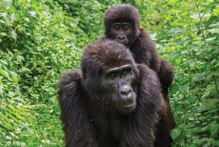 Gorilla Uganda Best of East Africa and Gorillas