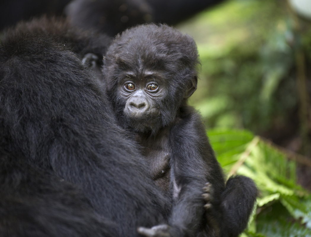 Gorilla Trekking African Travel Specialists The Travel Specialists