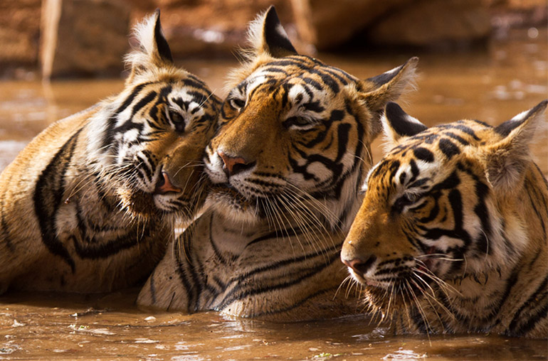 Taste of India tigers  family ranthambore India India tours and travel specialists