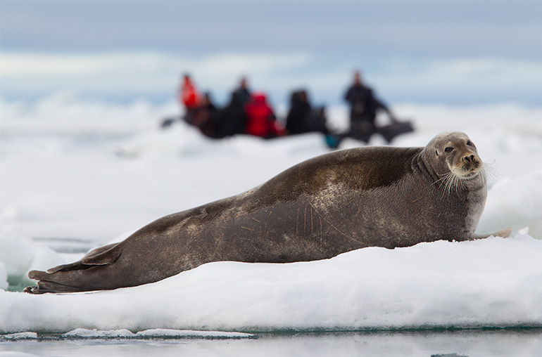 bearded  seal arctic Antarctic Travel specialists