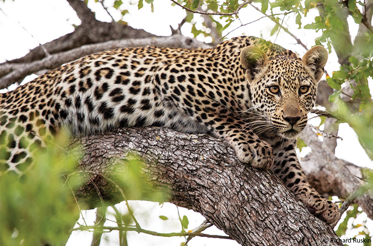 leopard  ultimate south africa africa african travel specialists