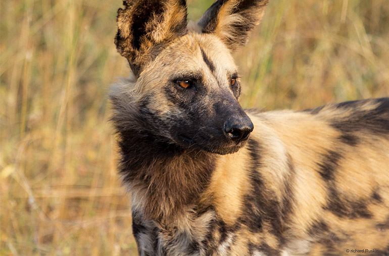 Wild dog Africa African Travel Specialists South Africa