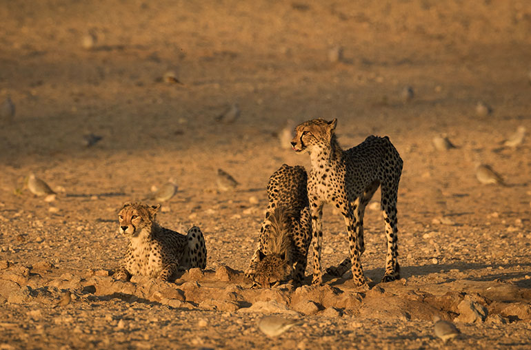 Cheetahs South Africa Kgalagadi Trasnfrontier Park African Travel Specialists