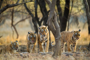 Tigers India Ranthambore India Tours & Travel Specialists