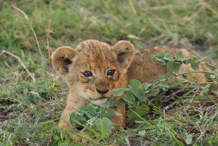 Lion Cub African Travel Specialists Savanna Private Game Reserve South Africa
