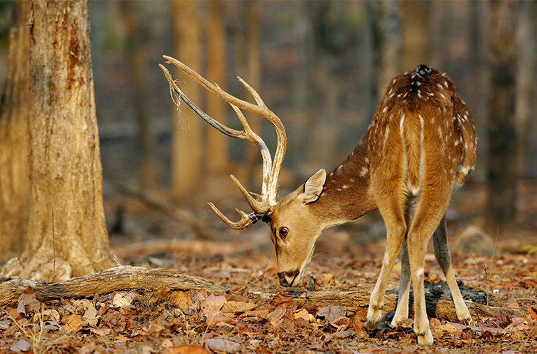 Chital Deer Pench National Park India India Tours and Travel Specialists