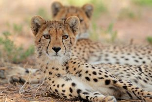 Cheetah South africa African Travel specialists